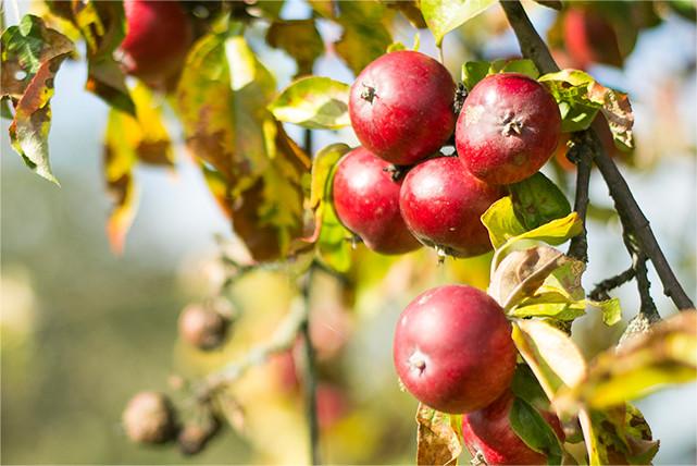 Alte Hochstammapfelsorte mit Kelteräpfeln