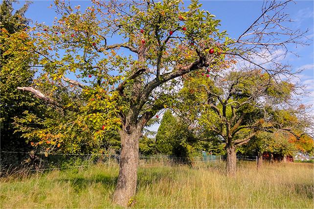 Alte Apfelbaumflächen (Hochstämme)